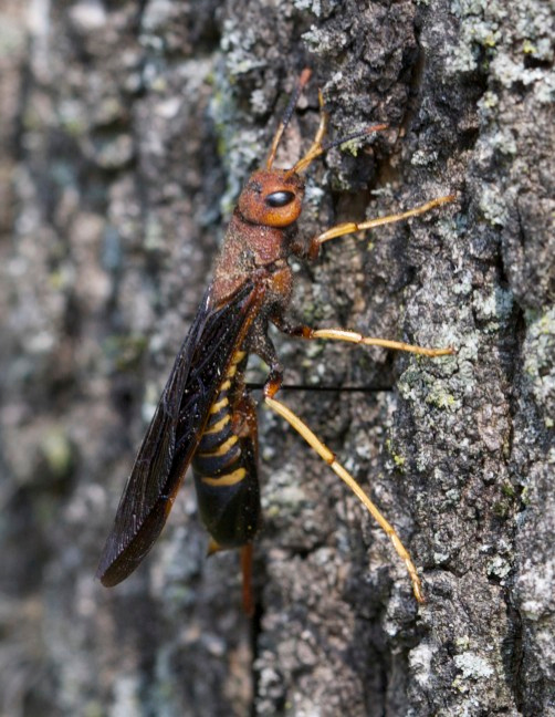 Pigeon Horntail (Tremex columba) with ovipositor in tree bark.  The ovipositor is the thin black appendage that is between the Pigeon Horntail and the tree bark.