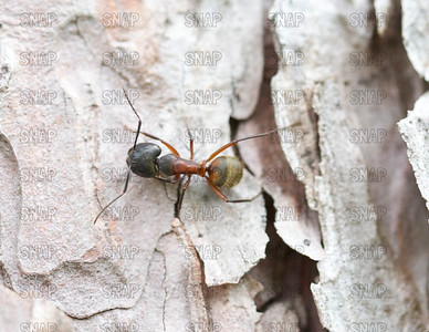 Unknown Ant