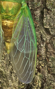 Cicada (Tibicen texanus) wing closeup.