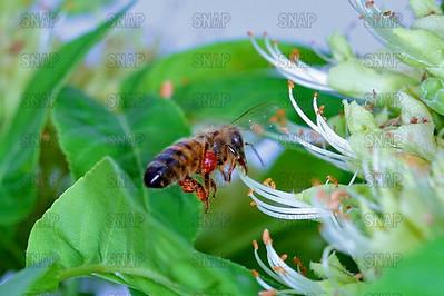 Honey Bees, Honeybees or European Honey Bee (Apis mellifera).