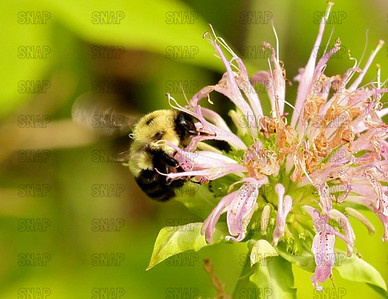 Bumble Bee (Bombus terricola occidentalis).