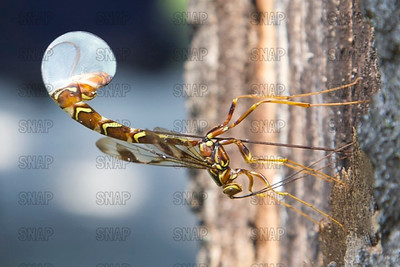 Ichneumon Wasps, Scorpion Wasps, Giant Ichneumon Wasp, or Ichneumon Flies,(Megarhyssa macrurus) is a parasitic wasp.  This is a female depositing its eggs in the same hole where a female Pigeon Horntail (Tremex columba) just deposited its eggs.