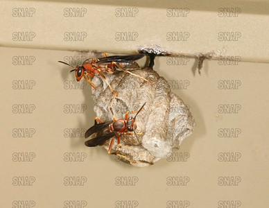 Red Paper Wasp (Polistes annularis).