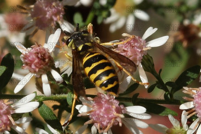 Worker Yellowjacket (Vespula maculifrons).