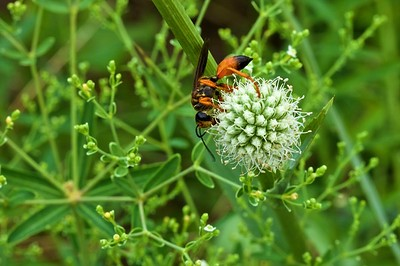 Golden Digger Wasp