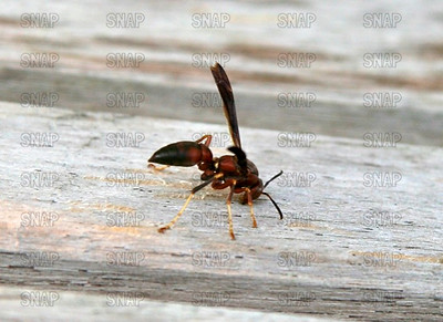 Paper Wasp (Polistes annularis).