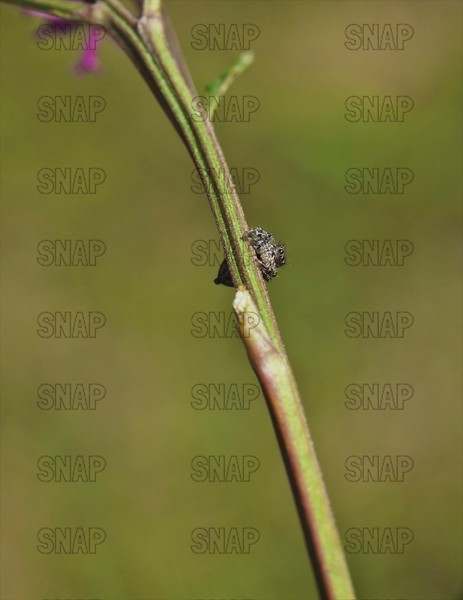 Tan Jumping Spider On Giant Ironweed