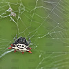Crab Spider, Spiny-backed Orbweaver, Spiny Orbweaver Spider, Crab-like Orbweaver Spider, Crab-like Spiny Orbweaver Spider, Jewel Spider, Spiny-Bellied Orbweaver, Jewel Box Spider or Smiley Face Spider (Gasteracantha cancriformis)