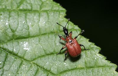 Hazel Leaf Roller Weevil 4