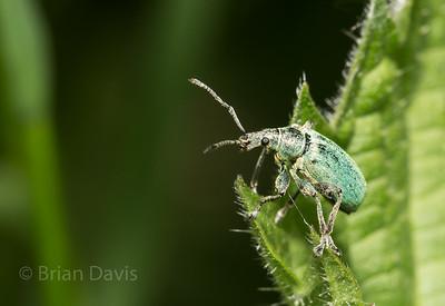 Nettle Weevil  2
