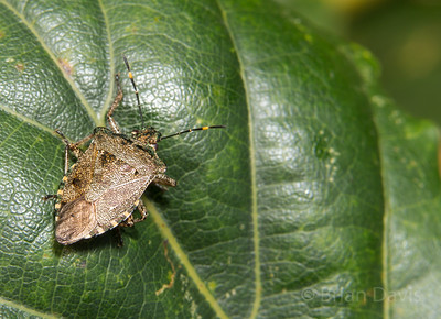 Bronze Shield Bug 3