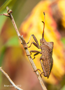 Dock Leaf  bug 3