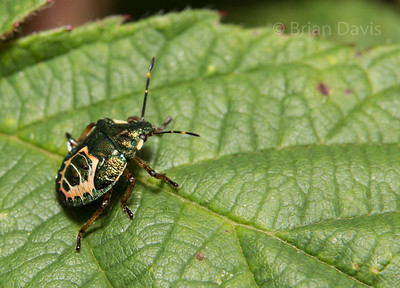 Bronze Shield Bug