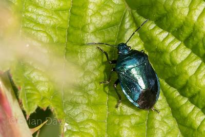 Blue Shieldbug