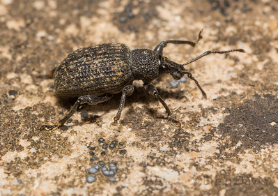 Black Vine Weevil 2