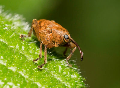 Acorn Weevil 4 (male)