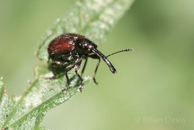 Weevil sp, Rhyncites aequatus