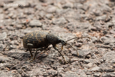 Black Vine Weevil 1