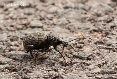 Black Vine Weevil 1