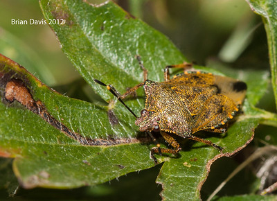 Bronze Shield Bug,