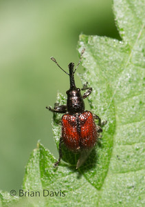 Weevil sp, Rhyncites aequatus 2