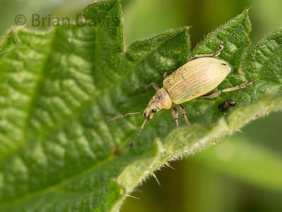 Weevil sp. ( Nettle Weevil) ?