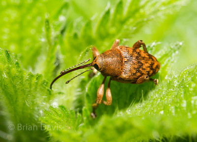 Acorn Weevil 5 (female)