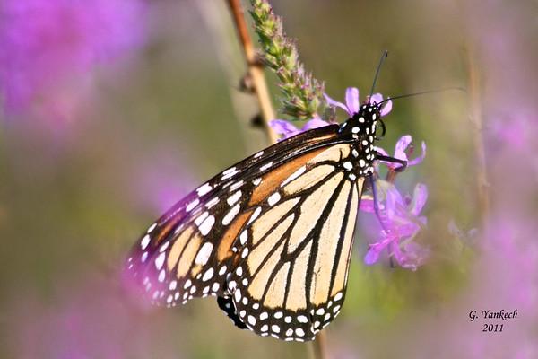Monarch, Danaus plexippus  Rouge National Urban  Park, Scarborough, Ontario  An imperiled (S2N,S4B) species in Ontario