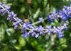 Bee on Russian Sage flowers