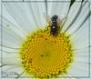 Flies on daisies