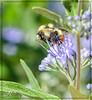 Bee on Bluebeard Shrub flowers