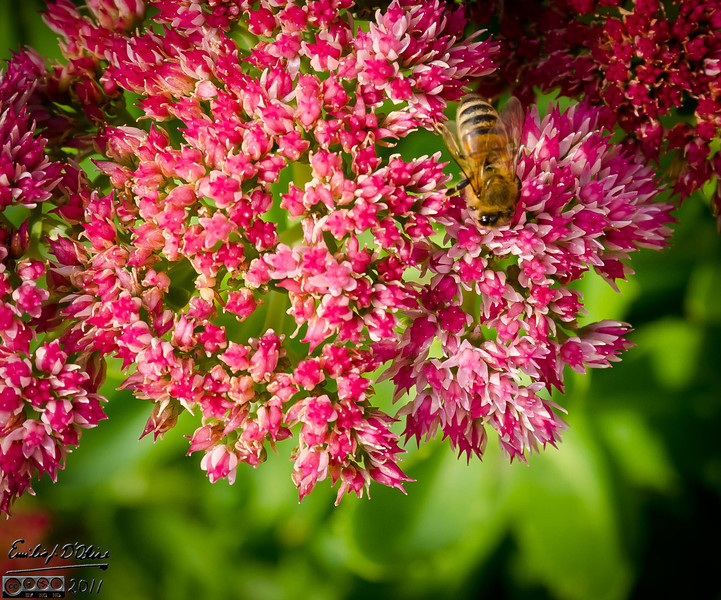 These are more recognizable Honey Bees on a Sedum Autumn Joy plant.  They were swarming all over these small flowers.