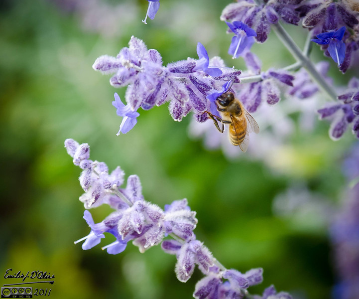 I was out trying my 17-50mm f/2.8 lens and saw these bees on the Russian Sage flowers.