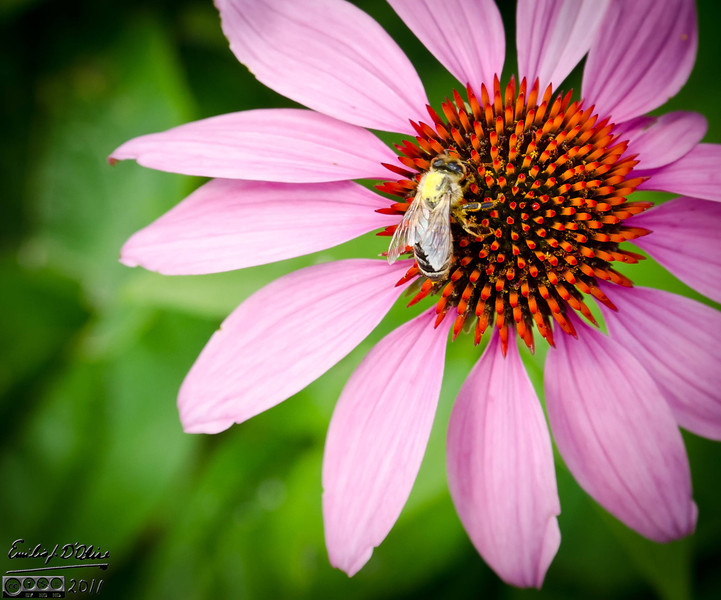 For instance, this next series shows the bee (what I focused on) not as tack sharp as I wouldl like.