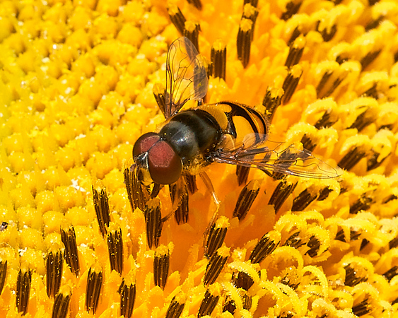 A bee on a common sunflower