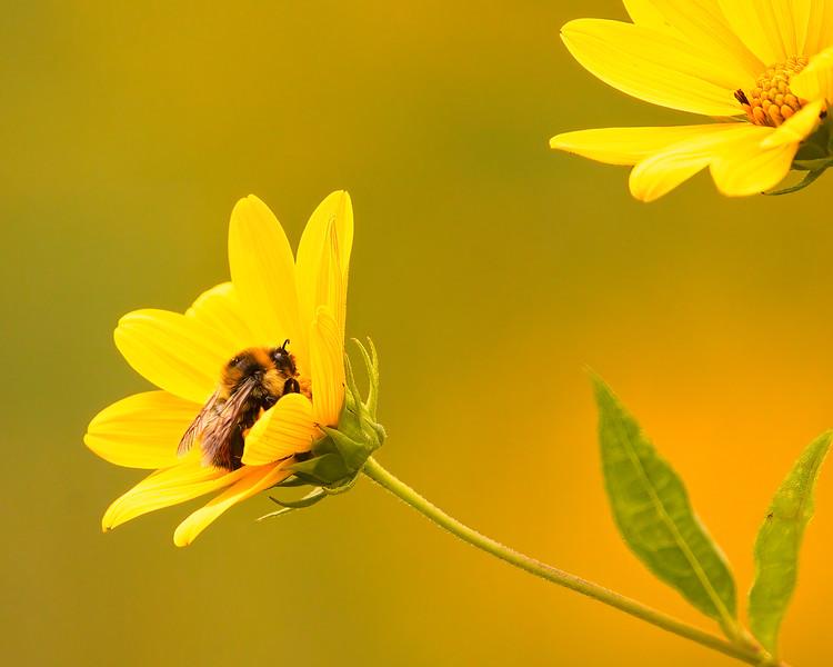 Bee on Tickseed Sunflower