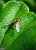 Long-legged Fly