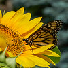 A monarch on a common sunflower