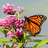 Monarch on pink flowers