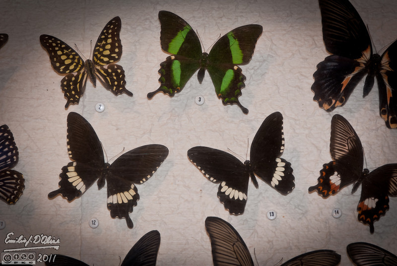 There are a number of reasons why I will be returning to the place, one of them being the display cases with hundreds of butterflies from all over the world.  All are beautifully, if gruesomely, mounted, and labelled.