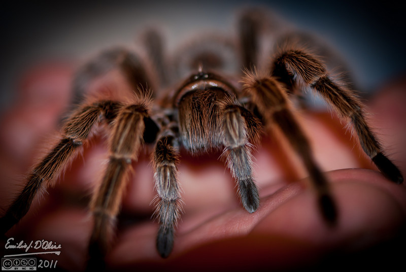 This is Rosie head-on.  <br /> <br /> By the way, I learned there are two species of Tarantulas native to Colorado.  I'm going to be looking for them.