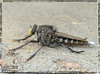 Insect, Robber Fly,