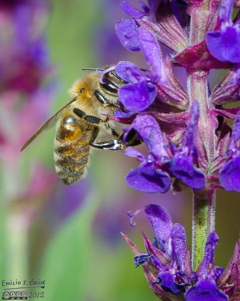 Like I sais, lots of bees on the Salvia.