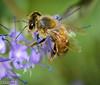 Bee on Bluebeard Shrub