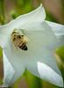 Bee on Balloon Flower.