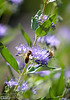Bee on Bluebeard Shrub