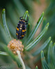 This is the larva stage of the lady beetle.  They like to eat aphids, and these guys were all over my Blue Spruce.