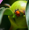 Nine-Spotted Lady Beetle . . . less common as their numbers are declining due to habitat destruction, disease, etc.