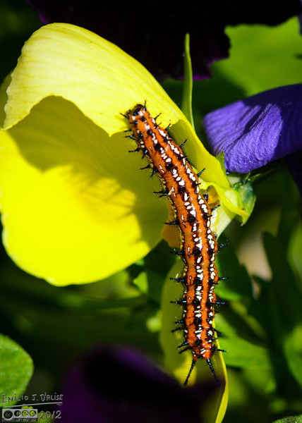 The caterpillar of the Variegated Fritillary butterfly.