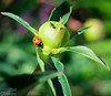 Seven-Spotted Lady Beetle on a Peony